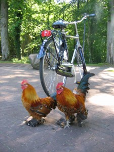 Bike with chickens